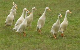 Prügeln Sie von den weißen Enten Lizenzfreie Stockfotos