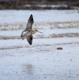 Prętowy Ogoniasty Godwit lądowanie zdjęcie stock