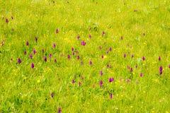 Pré avec des fleurs d'ochid de marais Photographie stock libre de droits