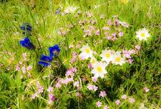 Pré dans les alpes avec les fleurs gentiana Image libre de droits