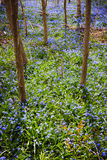 Pré de ressort avec la gloire-de-le-neige bleue de fleurs Photo stock