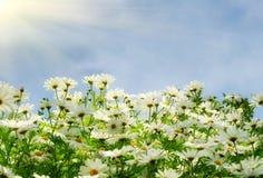 Pré gentil d'été avec des comomiles au-dessus de ciel bleu Image libre de droits