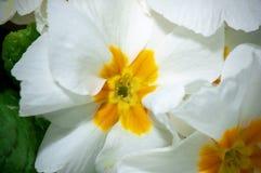 Pr?mula, ou flor com gotas da ?gua, macro da pr?mula fotografia de stock