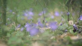 Pr?mulas da mola na floresta vídeos de arquivo