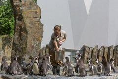 PRAAG, TSJECHISCHE REPUBLIEK, MEI 2017: De vrouw in de dierentuin van Praag voedt pinguïnen Royalty-vrije Stock Foto's