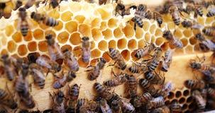 Prac pszczo?y w roju Pszczo?y nawracaj? nektar w mi?d i zakrywaj? je w honeycombs zdjęcie wideo