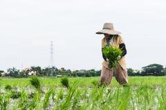 Praca w ryżu polu Obrazy Royalty Free