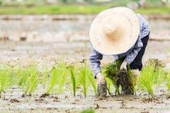 Praca w ryżu polu Zdjęcia Stock
