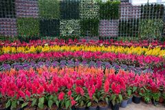 Prachinburi, Thailand-January11,2018: Schöne Blumen- und Betriebsanzeigen an Dasada-Galerie lizenzfreies stockfoto