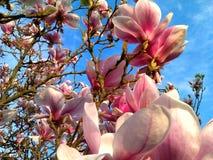 Prachtig bloeide Roze Magnoliaboom royalty-vrije stock afbeeldingen