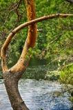 Prachtig gebogen pijnboomboomstam in zomer op waterachtergrond Stock Fotografie