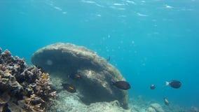 Prachtig Gili-koraalrif, exotische vissen stock video