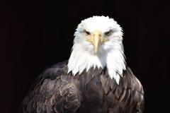 Prachtig majestueus portret van een Amerikaanse kale adelaar met een zwarte achtergrond stock foto
