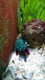 Prachtig, rainbowcoloured krab is opgesloten achter thwrots stock afbeeldingen