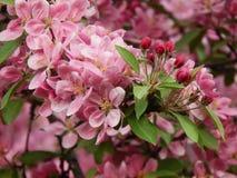 Prachtig tot bloei komende pruimboom Stock Foto's