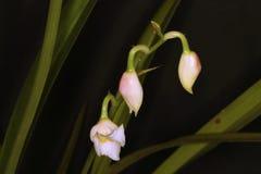 Prachtig trio van de knoppen van de orchideebloem Royalty-vrije Stock Fotografie
