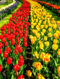 Prachtig tulpenschouwspel bij de Keukenhof-Tuinen Stock Afbeeldingen