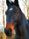 Prachtig volbloed- paardportret Stock Afbeelding