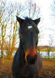 Prachtig volbloed- paardportret Royalty-vrije Stock Afbeeldingen