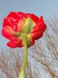 Prachtige bloem met een rode levendige kleur Front View royalty-vrije stock afbeelding
