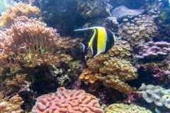 Prachtige en mooie onderwaterwereld met koralen en tropica Stock Afbeelding