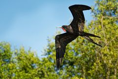 Prachtige Frigatebird - de zeevogel van Fregata magnificens van de frigatebirdfamilie Fregatidae royalty-vrije stock fotografie