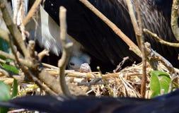 Prachtige Frigatebird-kuikenzitting in nest royalty-vrije stock fotografie