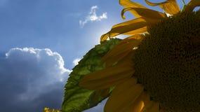 Prachtige Gele Zonnebloem stock afbeelding