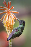 Prachtige kolibrie Stock Afbeeldingen
