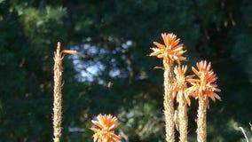 Prachtige kolibrie en oranje bloem stock footage