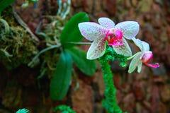 Prachtige Orchideebloem op de donkere achtergrond van de steenmuur Helder wit met roze vlekkenbloemen De ruimte van het exemplaar Royalty-vrije Stock Afbeelding