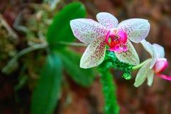 Prachtige Orchideebloem op de donkere achtergrond van de steenmuur Helder wit met roze vlekkenbloemen Voor affiche, kalender, dek Stock Foto's