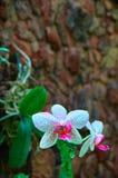 Prachtige Orchideebloem op de donkere achtergrond van de steenmuur Helder wit met roze vlekkenbloemen Voor reclame, affiche, dekk Stock Foto
