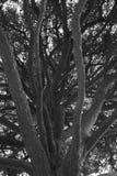 Prachtige pijnboom stock afbeeldingen