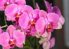 Prachtige purpere orchideeën Stock Afbeeldingen