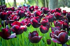 Prachtige purpere tulpen Stock Afbeeldingen
