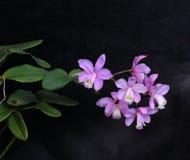 Prachtige reeks lilac orchideebloemen Royalty-vrije Stock Afbeeldingen