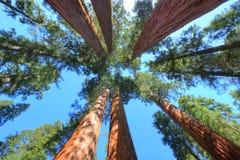 Prachtige reuzesequoiabomen, sequoia nationaal park, Californië Royalty-vrije Stock Foto's