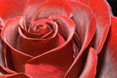Prachtige rood nam toe Royalty-vrije Stock Afbeeldingen