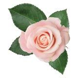 Prachtige roze die Rose Rosaceae op witte achtergrond wordt geïsoleerd royalty-vrije stock afbeeldingen