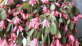 prachtige roze tubulaire bloemen Stock Afbeelding
