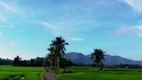 Prachtige tijdsplanning van het rijstveld in Kedah Maleisië stock videobeelden