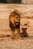 Prachtige Troep leeuwenpapa met welpen stock fotografie