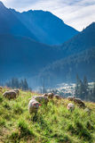 Prachtige troep van schapen die bij dageraad, Tatra-Bergen weiden royalty-vrije stock foto's