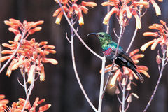 Prachtige vogel in Kenia, Marico Sunbird stock foto