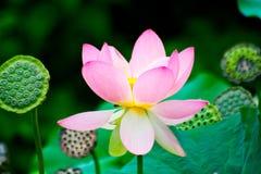 Prachtige waterlelies Stock Foto