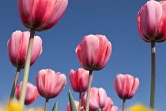 Prachtige wereld van tulpen Stock Fotografie