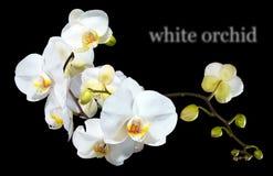 Prachtige, witte orchidee Geïsoleerd op een zwarte achtergrond Royalty-vrije Stock Afbeeldingen