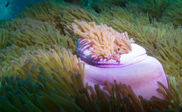 Prachtige zeeanemoon Royalty-vrije Stock Foto