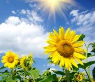 Prachtige zonnebloemen over bewolkte blauwe hemel. Stock Afbeeldingen
